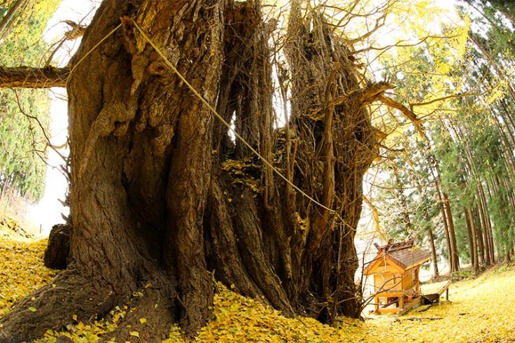 Aza-ichōnoki, Hōryō, Towada, Prefettura di Aomori, 034-0303  Circonferenza del tronco: 13,48 m; altezza: 31 m; Età: 1.100 anni