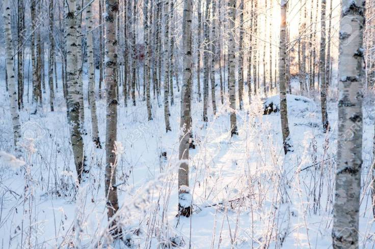 37581483-snowy-birch-forest-and-sun-light.jpg